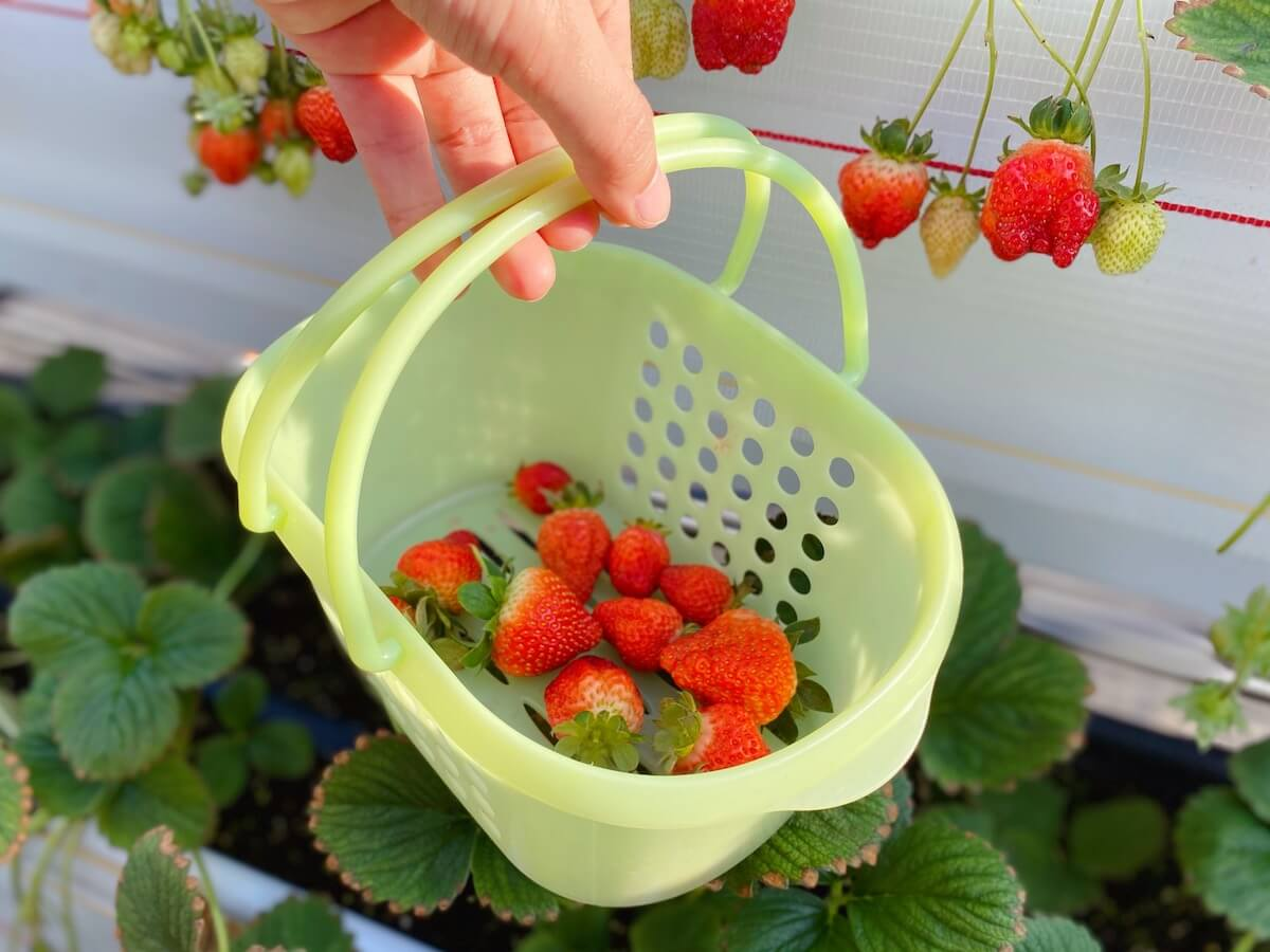 Our strawberry picking