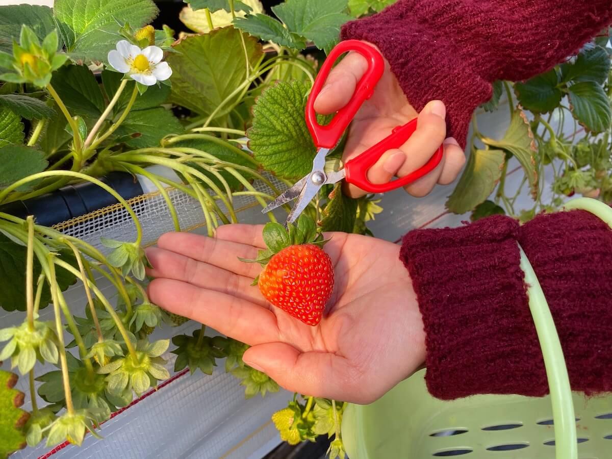 Strawberry (picked)