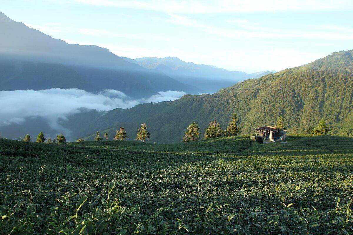 Tea farms in Taiwan